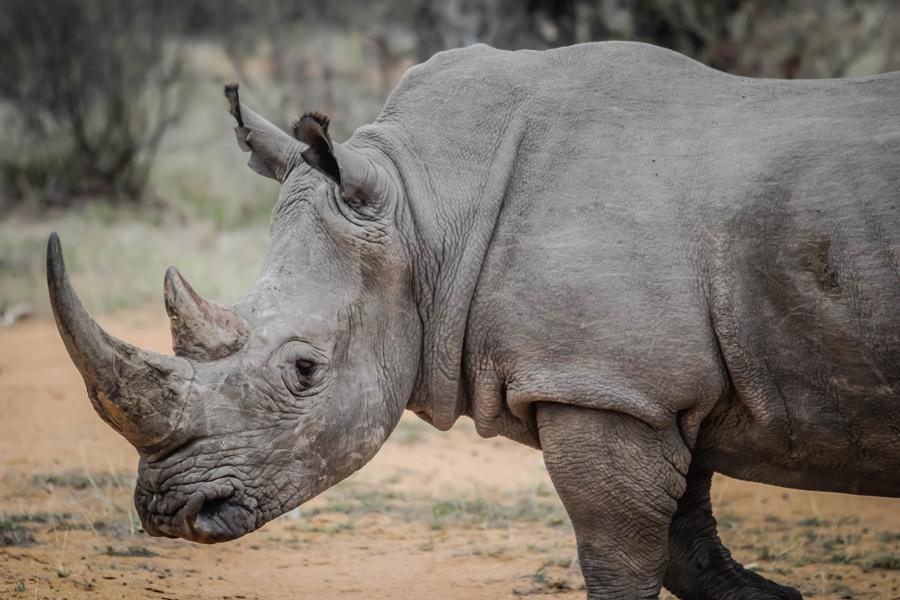 cuernos de rinoceronte China