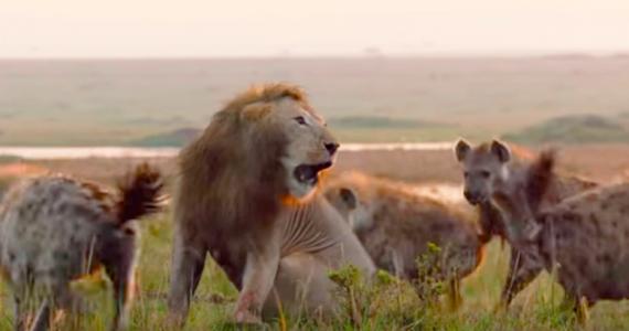 video emotivo del león