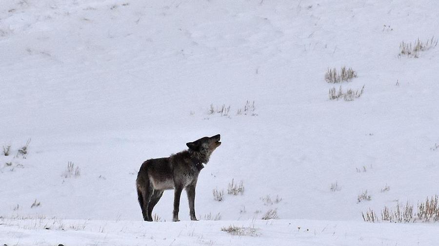 loba en Yellowstone