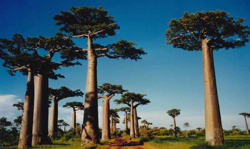 Semillas desierto árboles baobabs