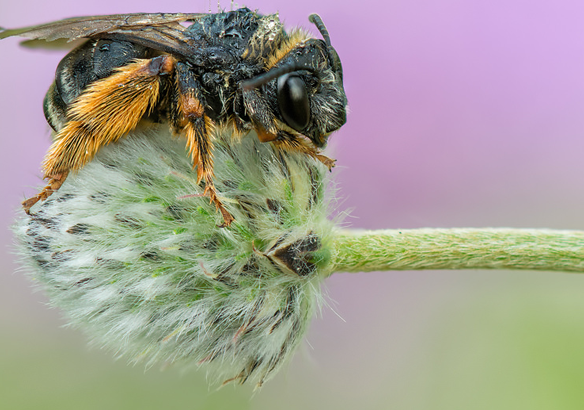 abeja insectos duermen