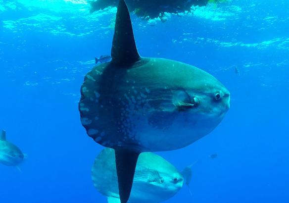pez luna pez gigante chile