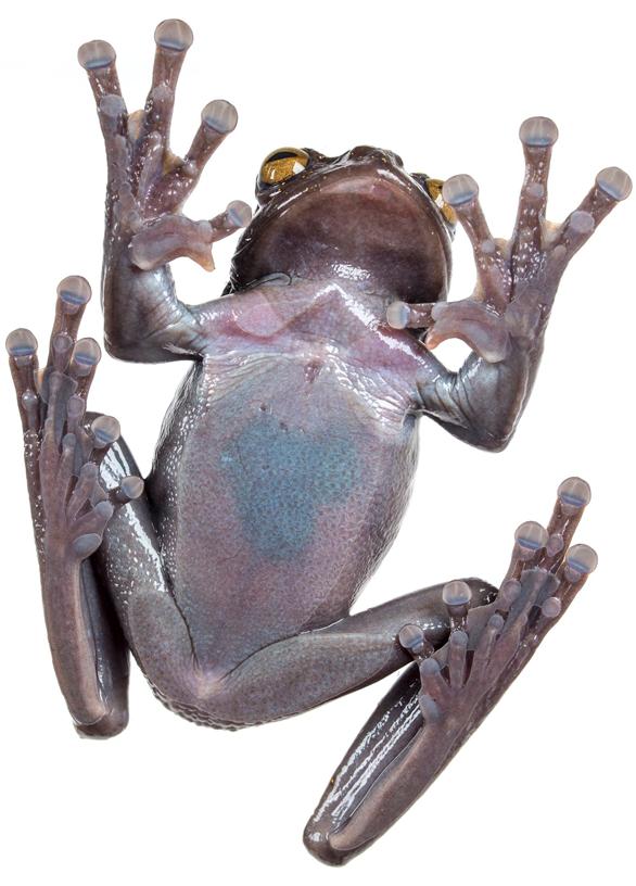 Rana Ecuador