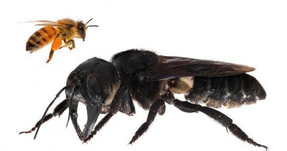 abeja gigante