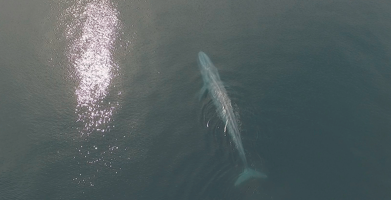 ballena azul Loreto
