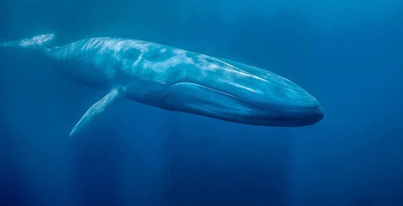 Resultado de imagen para ballena azul loreto