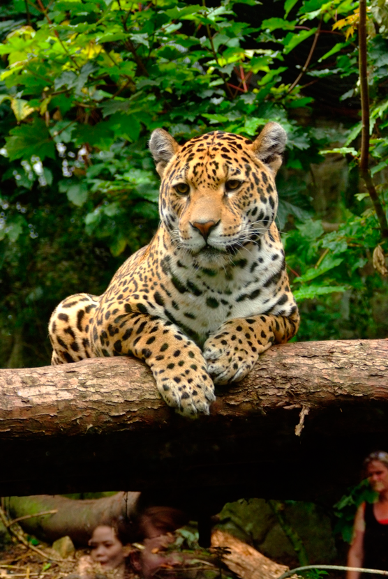 Jaguar América Latina