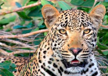 jaguares América Latina