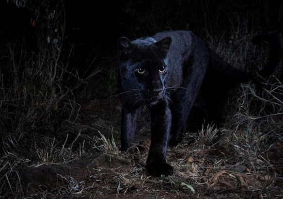 leopardo negro Kenia África