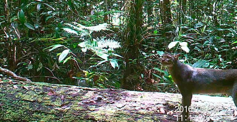 Gato de Borneo