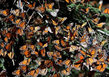 mariposa monarca México