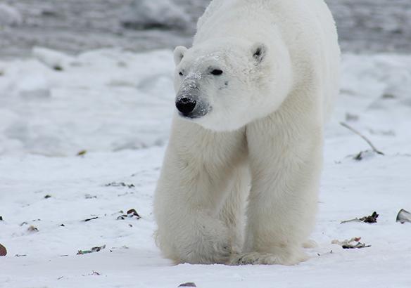 osos polares oso polar Rusia