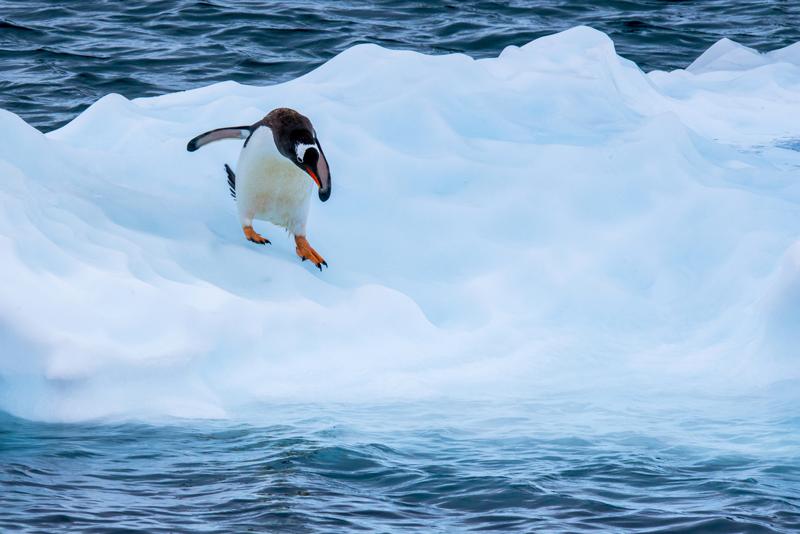 pingüinos Antártida pingüino