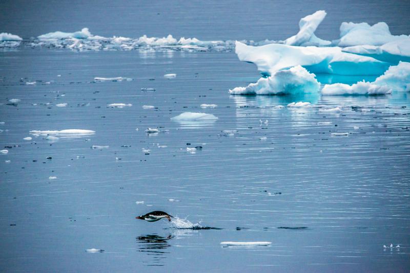 pingüino Antártida