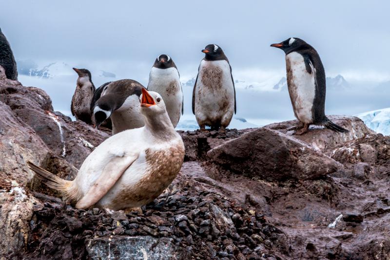 pingüinos albino Antártida