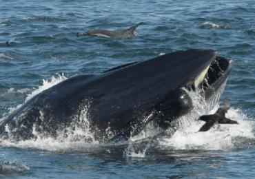 ballena buzo