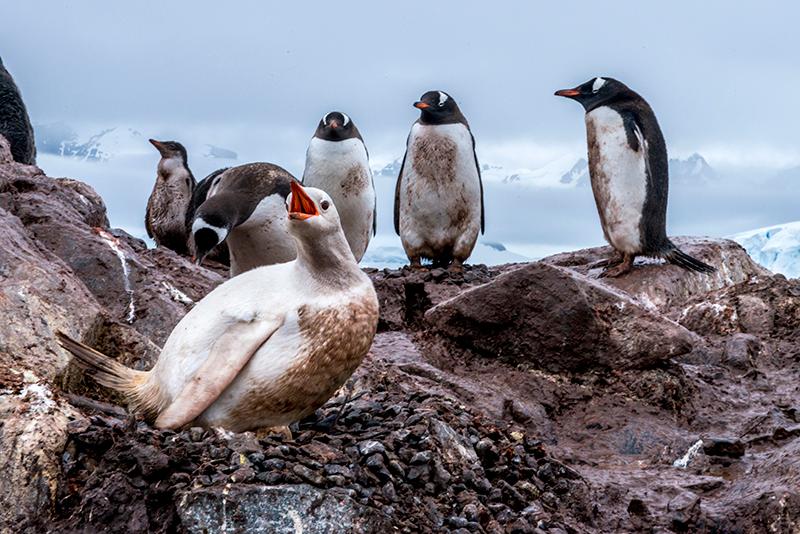 Antártida pingüino