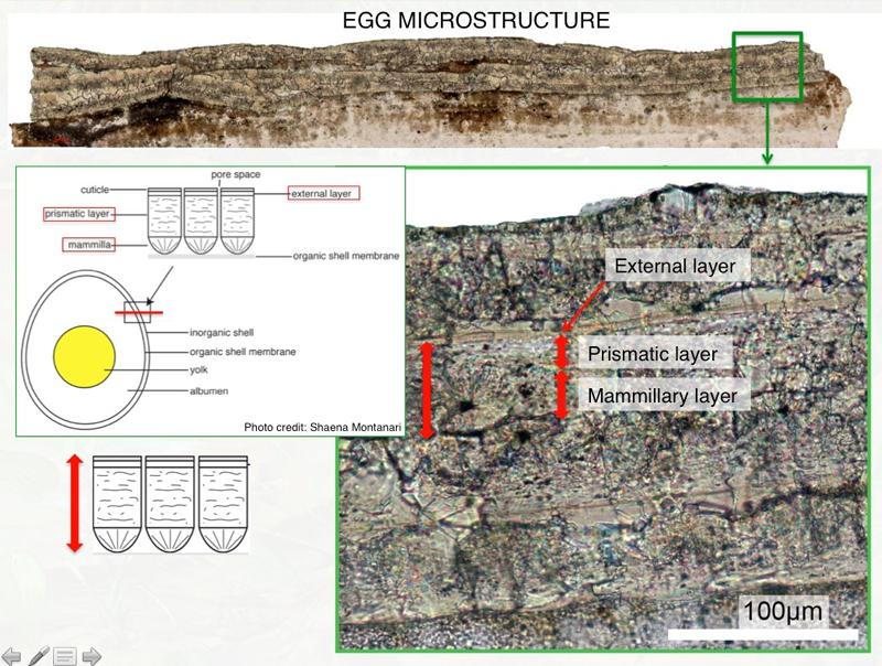 fósil huevo ave