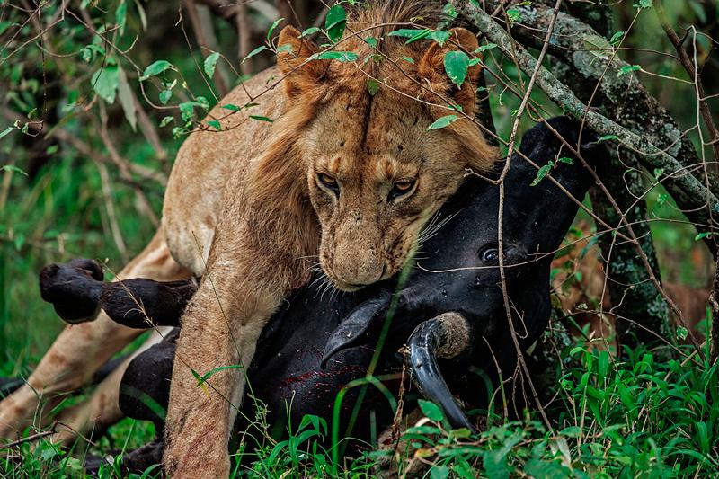 Kenia Fauna León
