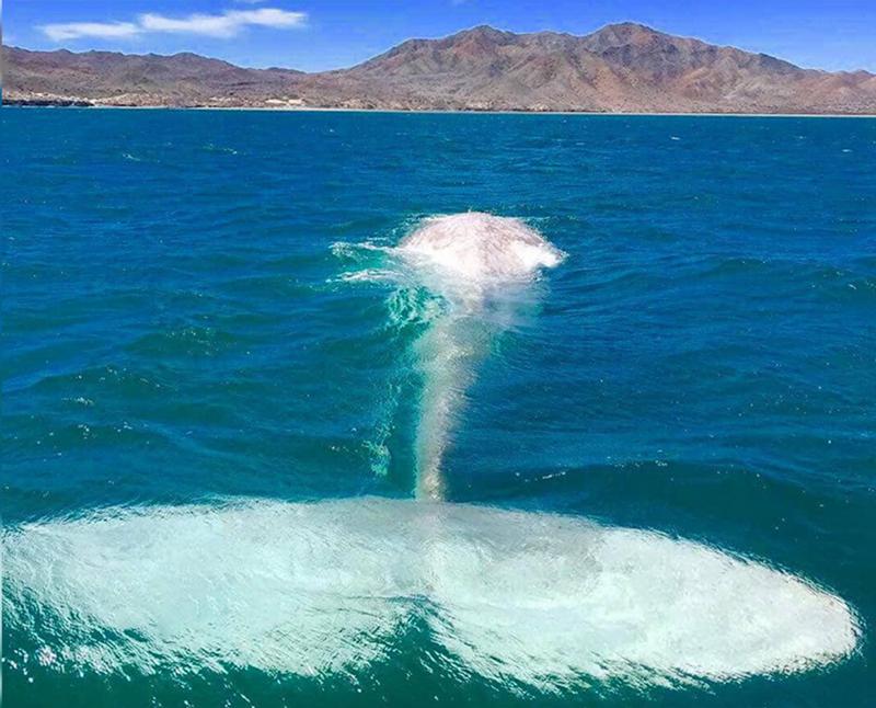 ballena albina Baja California
