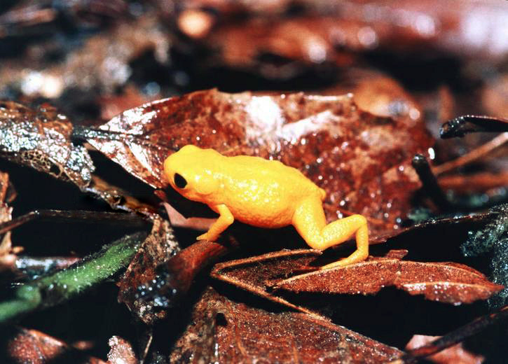 rana amarilla fluroescente