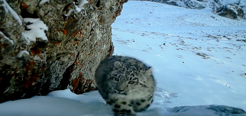 Leoprardo de las nieves