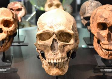 Nueva especie humana cráneo