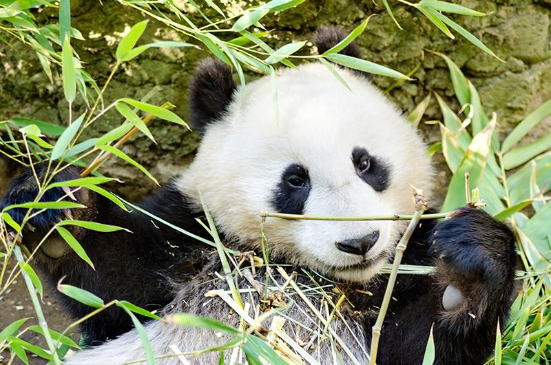 oso panda Bambú