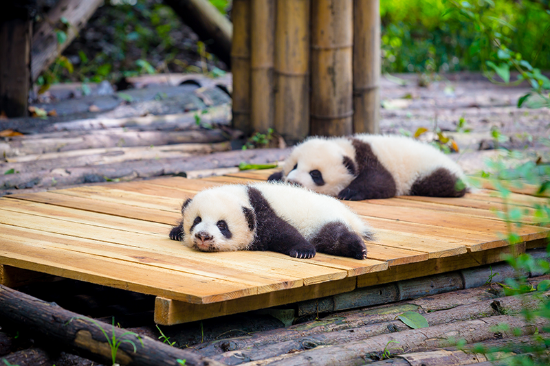 pandas cachorros