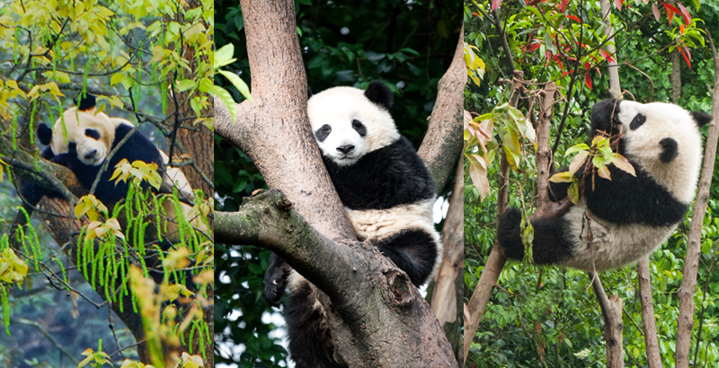 10 fotos adorables de osos panda - National Geographic en Español