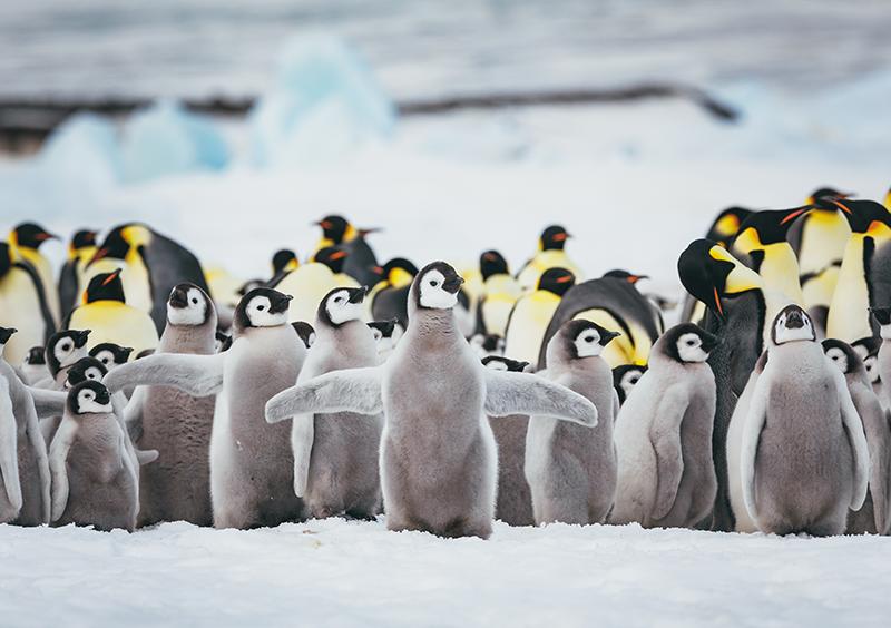 pingüinos emperador