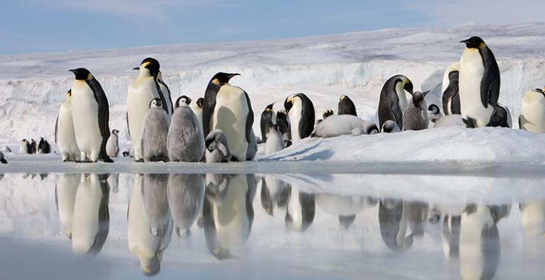 Pingüinos Emperador Pingüino