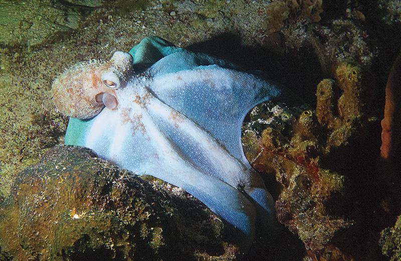pulpo de arrecife del Caribe Cozumel
