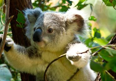 Koala funcionalmente extinto
