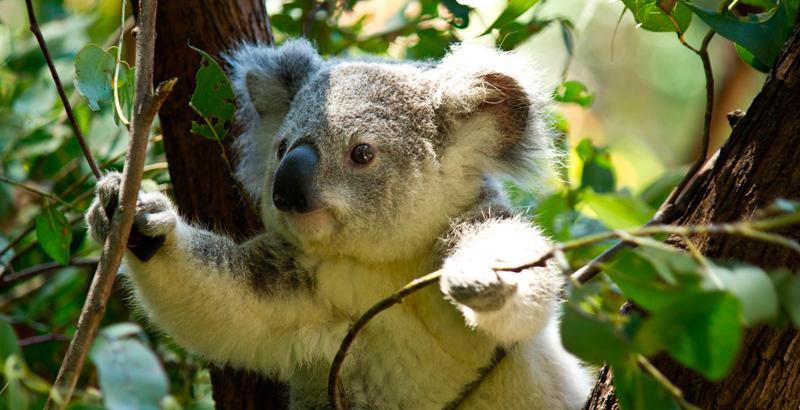 """Una ONG declara al koala """"funcionalmente extinto"""" - National Geographic en Español"""