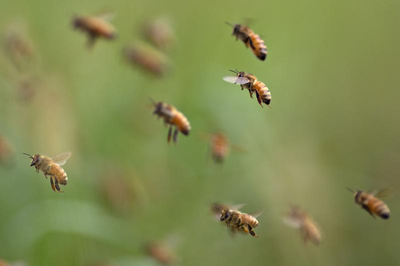 abejas datos