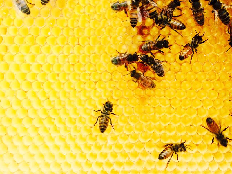 abejas datos colmena