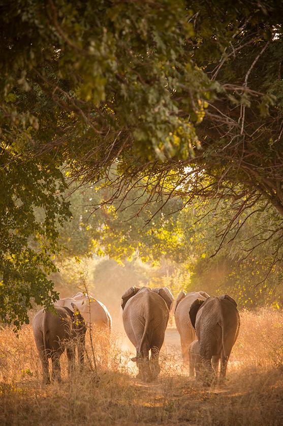 Elefantes caza Botsuana