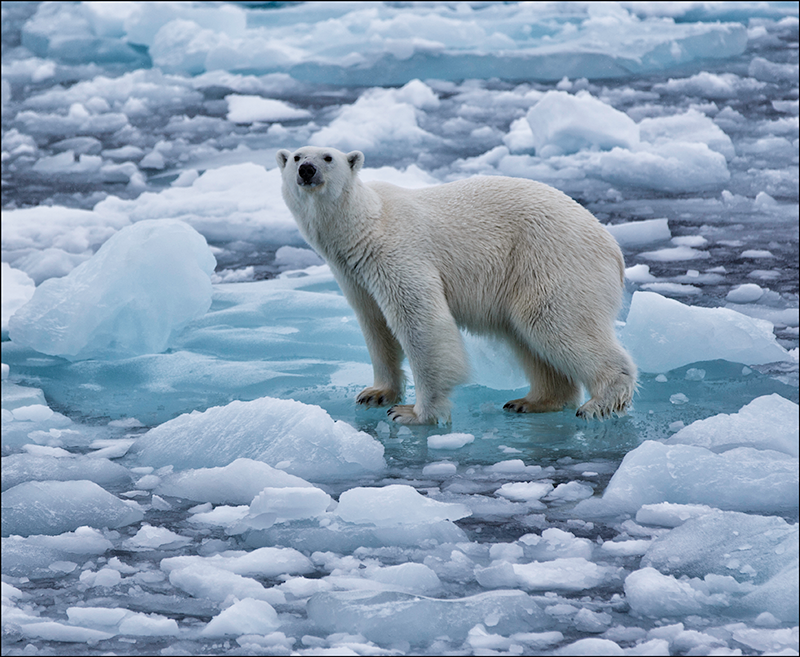 Oso Polar peligro de extinción