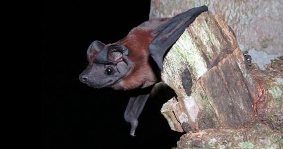 murciélago cara de perro de Freeman