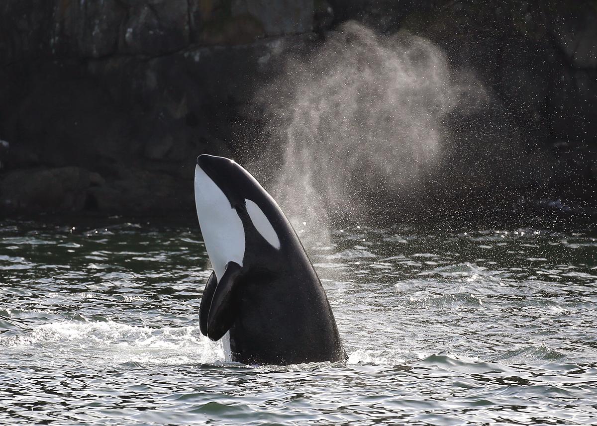 Orcas en Vancouver.