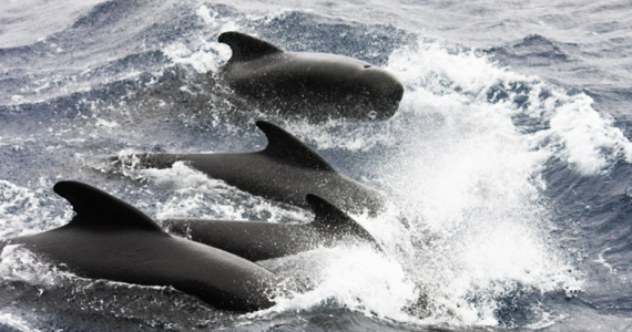 calderón común o ballena piloto de aleta larga Islas Feroe