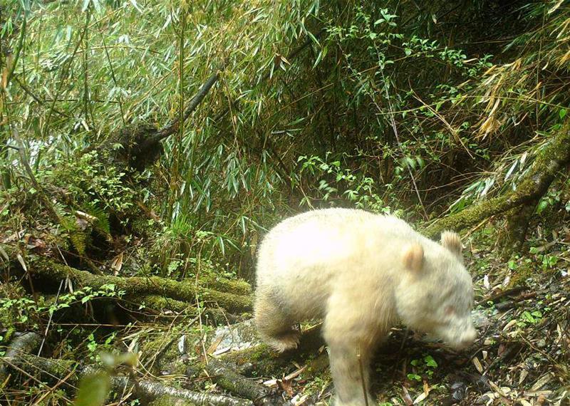 oso panda gigante albino