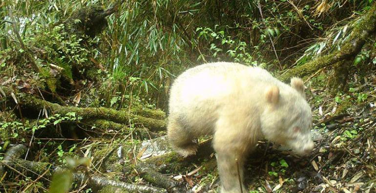 panda gigante albino