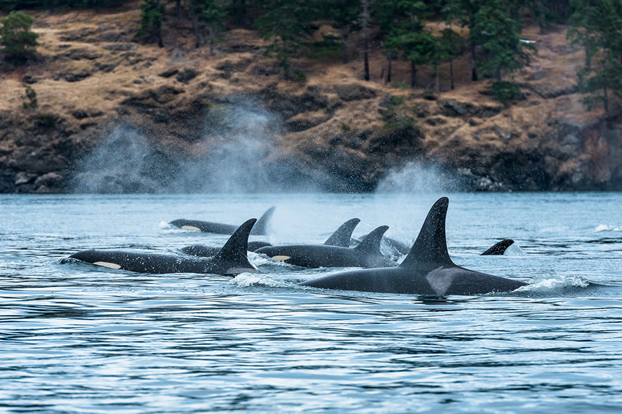 Orcas en Vancouver