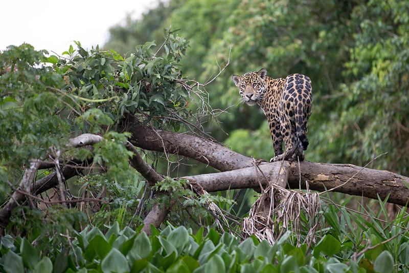 paraíso natural felino Amazonas