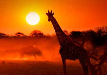 Quemaduras de Sol jirafas jirafa