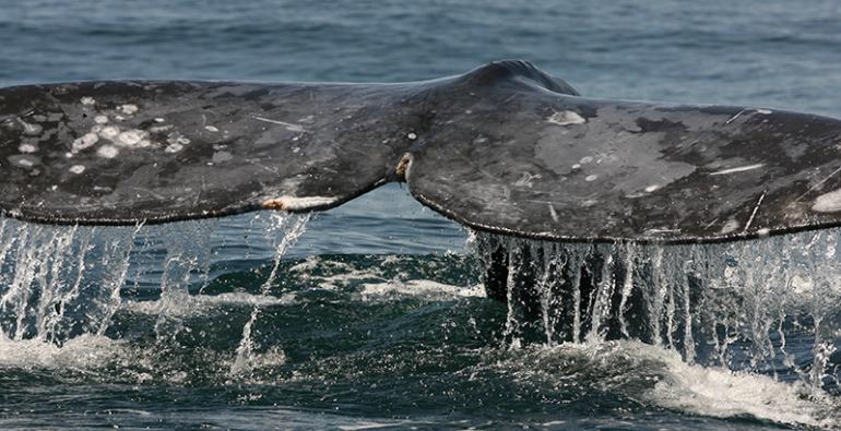 Japón caza comercial ballenas