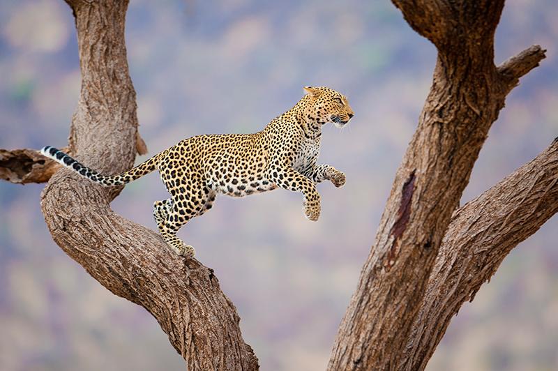 Leopardo Caza