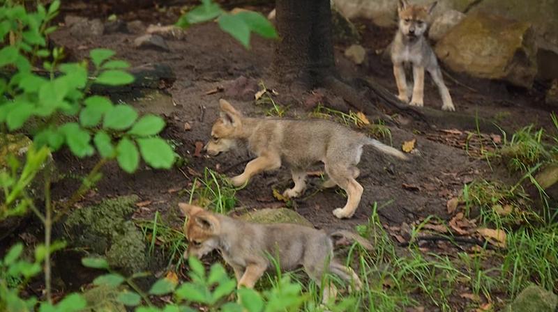 lobos mexicanos  Zoológico de Chapultepec